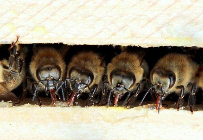 Od včely lesní