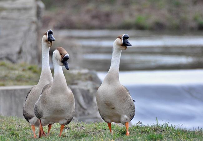Husy labutí se usadily ve městě u Svratky