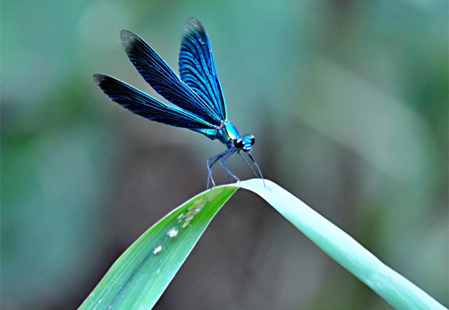 Motýlice obecná, druh vážky zpodřádu motýlic