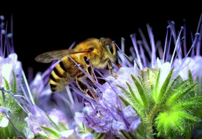Svazenka vyhání včely z lesa