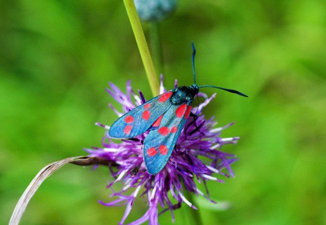 Vřetenuška obecná – jedovatý motýl