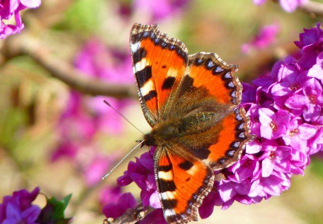 Babočka bodláková – tažný motýl