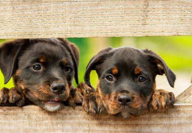 Pozor na volně pobíhající psy apovinné očkování