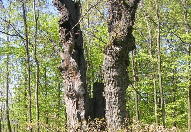 Paměť stromů