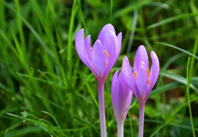 Květinové hodiny Tišnovska – Za ocúny a vřesem