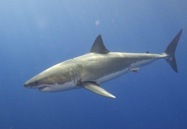 Žraloci – Lidožrouti, nebo potřební uklízeči moří?